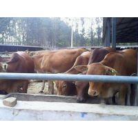 湖南利木赞牛养殖 西门塔尔牛长势 肉牛饲养