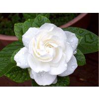 武汉小栀子花盆栽带花苞当年开花,可免费送货,使空气长久芳香
