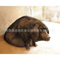 莱芜黑猪肉销售_【母猪猪苗】母猪猪苗价格_母猪猪苗图片热门产品-中国供应商