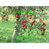 烟富8号苹果苗 烟富8号苹果小苗 烟富8号苹果种苗 烟富8号苹果树苗