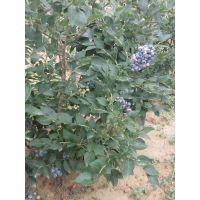 大量出售基地高品质的蓝莓苗 价格低的蓝莓苗