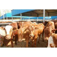 万隆牧业(在线咨询)_鲁西黄牛_鲁西黄牛效益