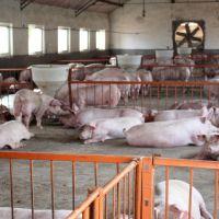 生猪  生态养殖生猪 三元猪天然无公害生态猪