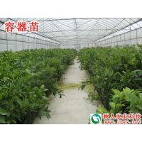 品种世纪红果苗