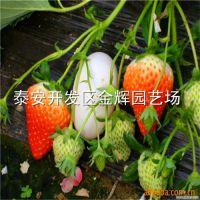 甜查理草莓苗 口感好 产量高稳产 易管理