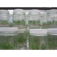 在哪能买到价位合理的桉树组培苗|优质的桉树组培苗