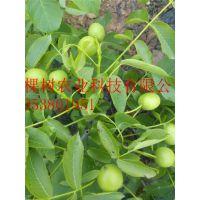 核桃苗 壹棵树农业直销 品种纯正 1年结果 成活率99%