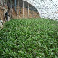 苗木基地批发草莓苗 山东草莓苗品种纯正 草莓苗价格合理