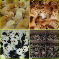 2109年土鸡孵化场直营广西鸡苗批发多少钱一只青脚麻血毛瑶山鸡灵山土鸡苗价格新行情