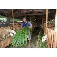 云南哪里有卖养羊的牧草种子的