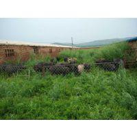长提供应优质原生态养殖特种当地黑猪