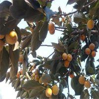 泰安佳一园艺场大量供应嫁接梨树苗 两年梨树苗价格 0.8公分粗成苗