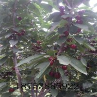 樱桃苗批发 美早樱桃苗价格 1.5米高0.8公分粗嫁接矮化高产成苗 山东新品种繁育基地