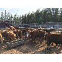 山东利木赞牛牛犊 、西门塔尔牛