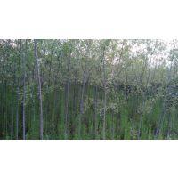 重庆柳树苗基地种植技术,柳树苗价格厂家