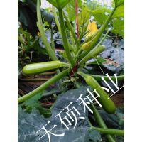 越冬耐寒耐低温西葫芦种子天硕1203