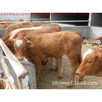 山东双利牧业大型肉牛种牛养殖场 常年销售200-1600斤的肉牛种苗