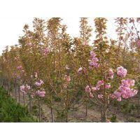 山东泰安2公分樱花树苗批发价格,樱花苗多少钱,晚樱树苗基地