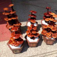 常绿性灵芝盆栽制作方法 观赏型盆景 康瑞灵芝