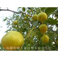 农家自摘山东鲜梨枣产地价格 果园直供