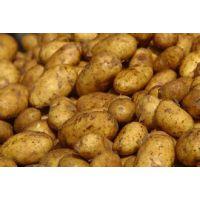 供应优质土豆 荷兰十五 果型周正 外型好看 价格便宜 出口标准