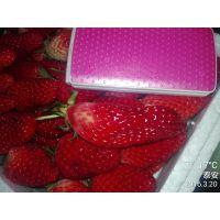 山东泰安基地批发品种草莓苗 章姬草莓苗价格 一年生种苗丰产无病害欢迎选购