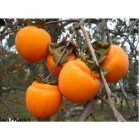 柿子树苗种植 柿子树苗批发