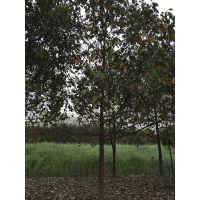 成都香樟产地大量出售 价格合理成都崇德园林
