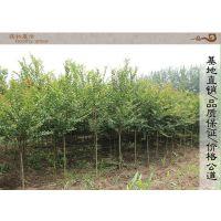 直销红花紫薇树苗 工程绿化乔木 基地现货 又名百日红苗 园林植物