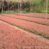 批发道路工程苗庭院绿化苗木篱笆红叶小檗苗 红叶小檗小苗