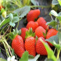 广安红颜草莓苗,红丰园艺场(图),红颜草莓苗栽培