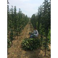 红太阳梨树苗产量 红太阳梨树苗几年结果