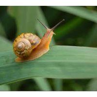 供应法国散大蜗牛种牛