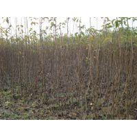 壹棵树农业批发2公分梨树苗 2公分梨树苗多少钱一棵 1年结果
