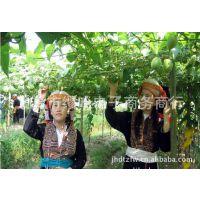 2014年江湖新产品罗汉果罗汉果花茶厂家中心生产加工