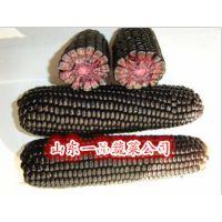 黑玉米种子黑糯一号鲜食优秀品种