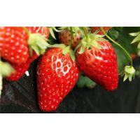 红颜草莓苗直销|阿拉尔红颜草莓苗|世杰园艺场(在线咨询)