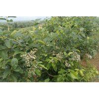 蓝莓苗种苗|郫县蓝莓苗|百色农业