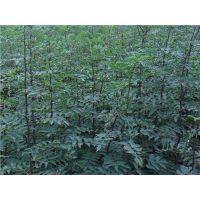 大红袍花椒苗亩产多少斤?泰安润佳农业大量供应优质高产花椒苗