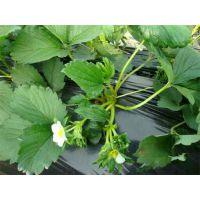 批发盆栽草莓苗 四季结果 产量高保纯度 金辉园艺场