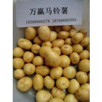 湖南迷你小土豆供应商找万赢18366666278