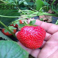 脱毒草莓苗价格,红颜草莓苗,山东章姬草莓苗出售