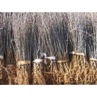 花椒苗种植基地|泰安花椒苗|润丰苗木(在线咨询)