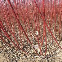 基地批发绿化苗木 红瑞木 丛生红瑞木 苗木批发 园林绿化植物