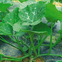 鼎牌南瓜种子专吃南瓜茎叶绿健种子80粒