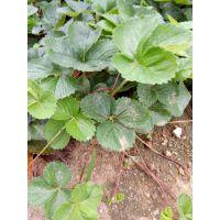 法兰地草莓苗品质高 数量多 价格低 泰山大地果树园艺场