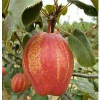 早酥红梨苗,秋月梨苗,梨苗中的奇葩,金诚苗木