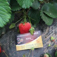 红颜草莓苗批发,密云红颜草莓苗,乾纳瑞农业科技