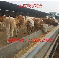 300斤西门塔尔牛犊多少钱一头