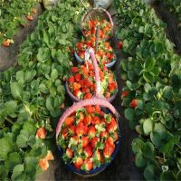 红丰园艺场(图)、优质章姬草莓苗、大兴章姬草莓苗